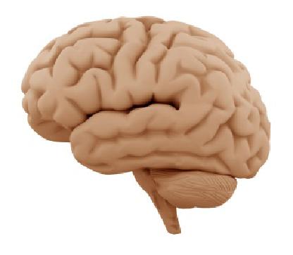 Gehirn1