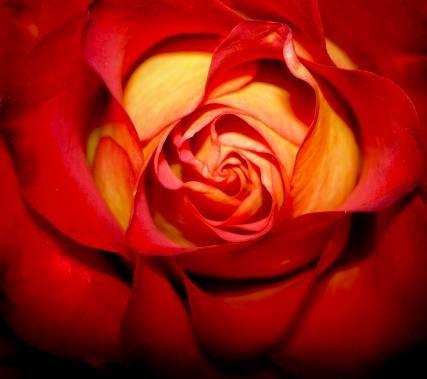 Seelencode Rose